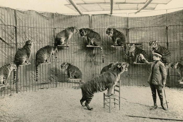 mabel tiger