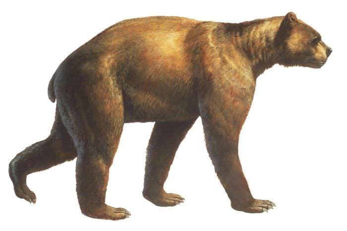 Short face bear