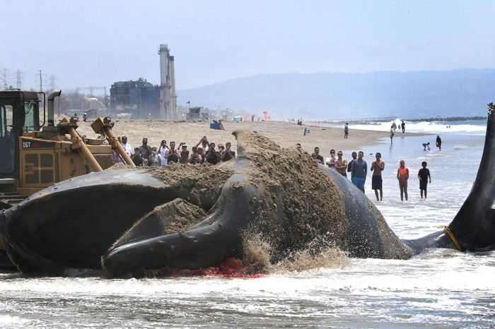 Beachgoers Watch As a Bulldozer Attempts to Push a Dead 40-foot Humpback Whale That Washed Up on Dockweiler Beach in Los Angeles California Usa 01 July 2016 Los Angeles County Lifeguards Are Attempting to Drag It Back to Ocean and Authorities Do not Know the Reason the Whale Died United States Los Angeles