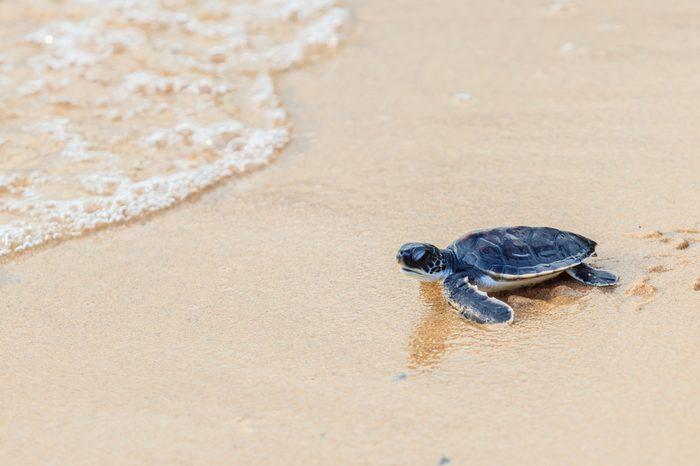 Green sea turtle walk to the ocean