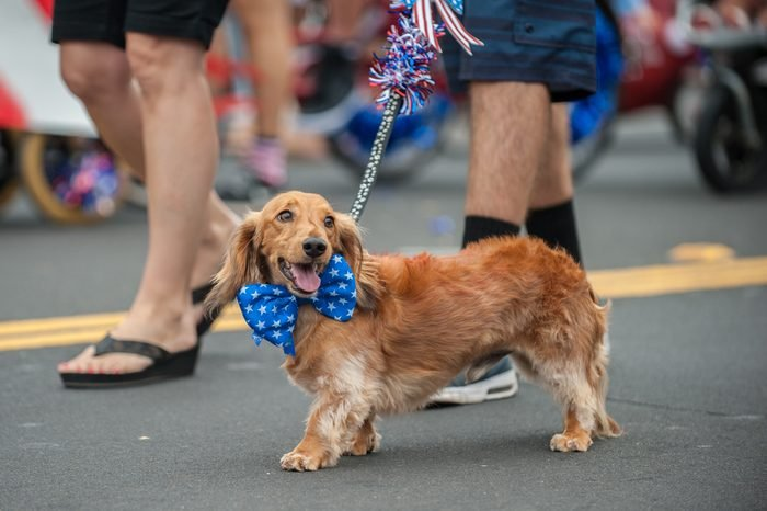 Patriotic Dachshund dog walking on street parade with stars and stripes bow tie around neck.