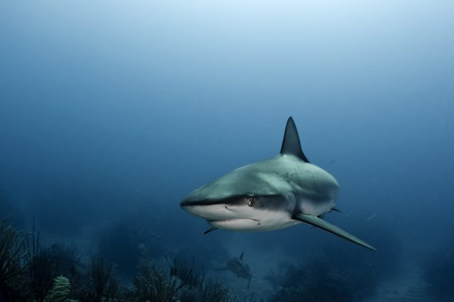 Caribbean reef sharks swimming over coral