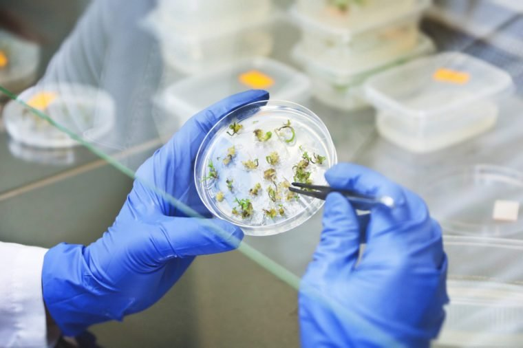 Scientist examining samples with plants. Taking a sample from a petri dish. Scientist holding a petri dish in the biological lab