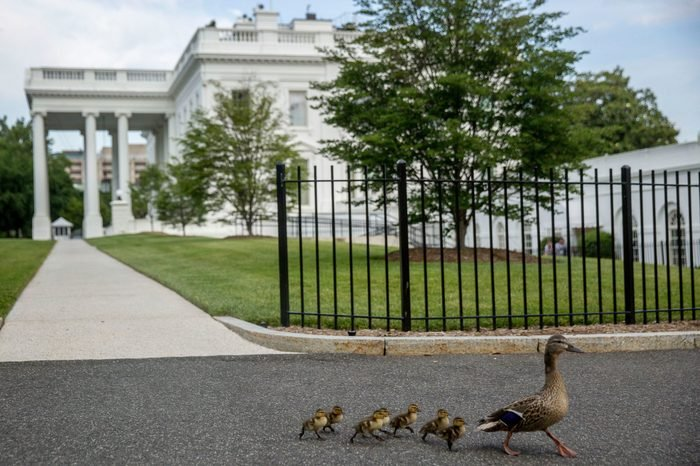 duck white house