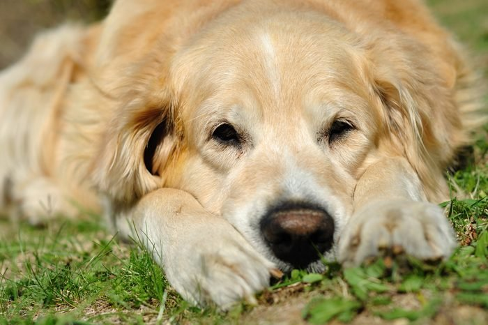 Portrait of the golden retriever in outdoor situation