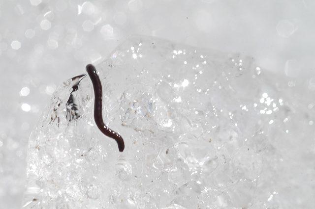 Alaskan Ice Worm