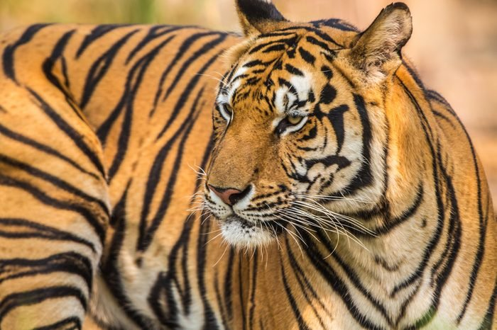 Indochinese tiger species in the zoo.