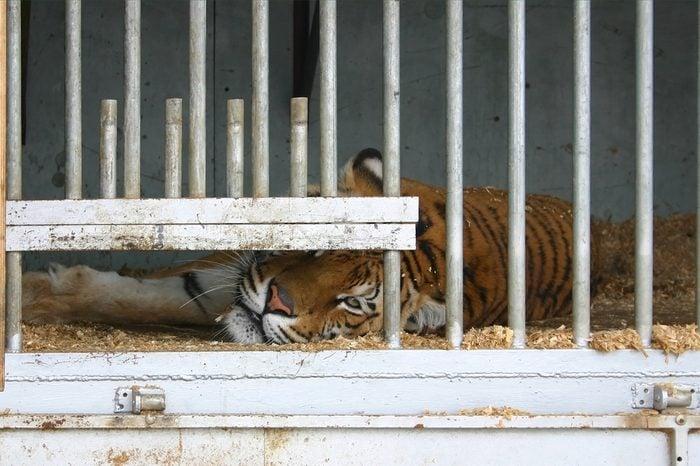 Locked up tiger in a circus caravan