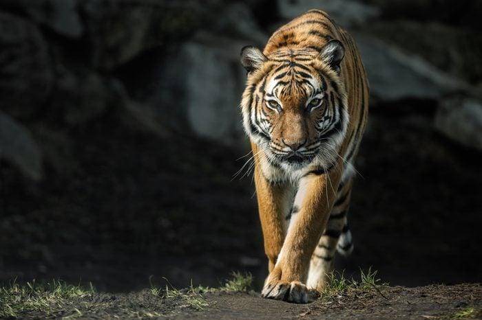 Beautiful malayan tiger female walking straight