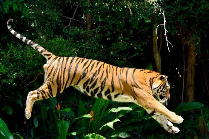 Tiger (Panthera tigris) performing a jump.