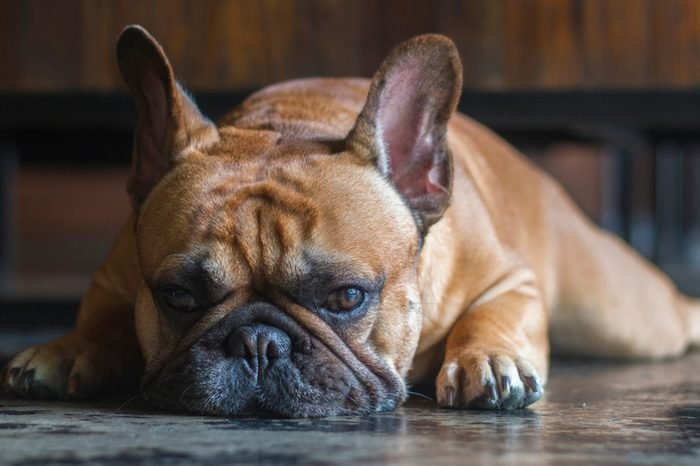 Close up laying french bulldog. The dog is looking to the camera