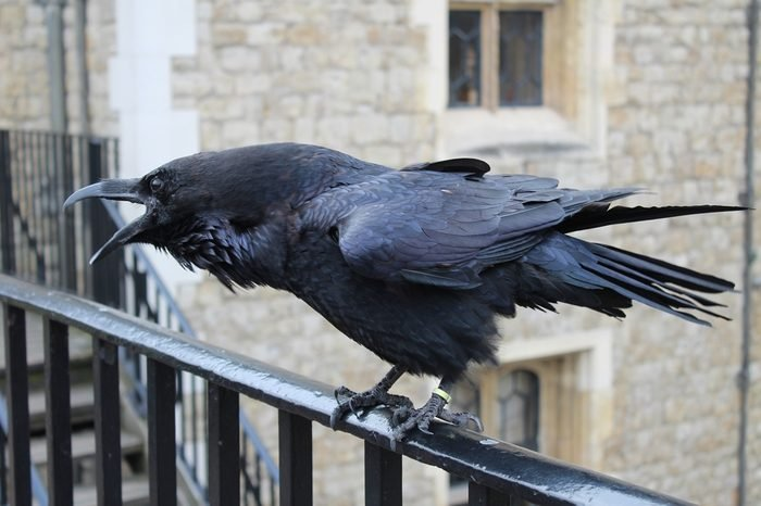 a raven at the Tower of London