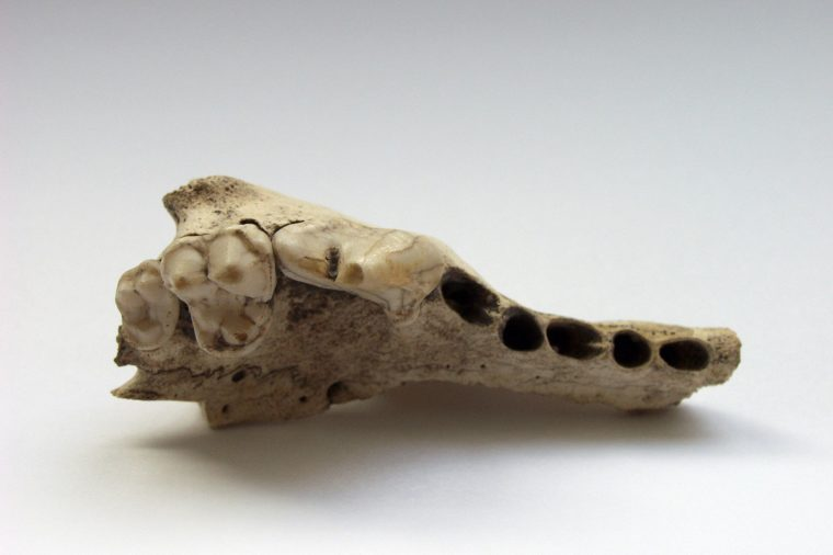 Remains of the 14,000-year-old dog