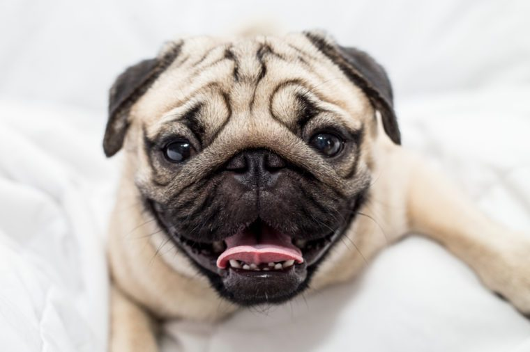 Cute pug smile and lying on ground and looking at camera