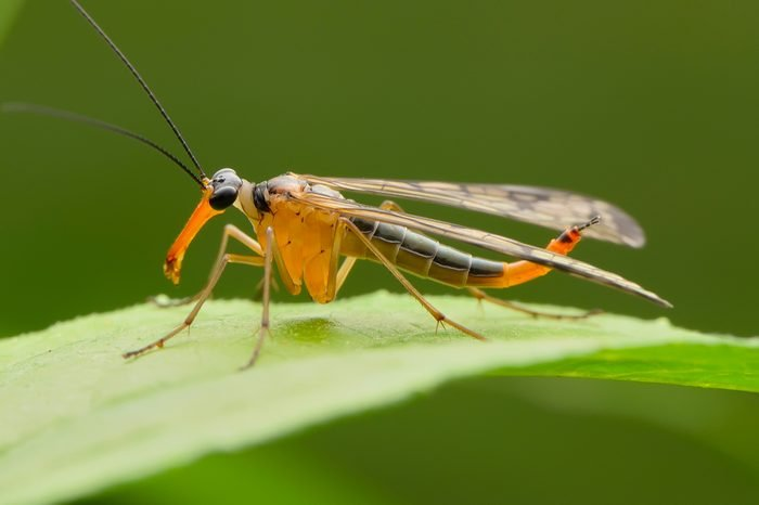 scorpion fly pose