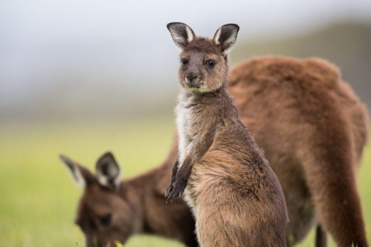 A joey western grey kangaroos. Macropus fuliginosus, subspecies Kangaroo Island kangaroo, standing in the grass.