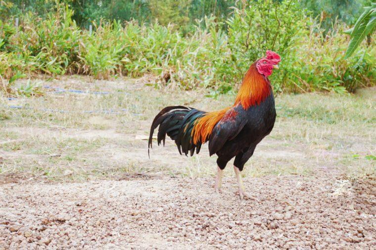 Beautiful gamecock walking in nature.