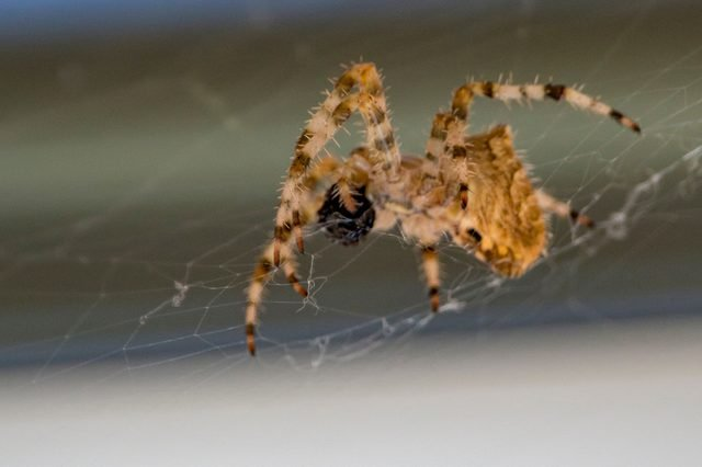 Photograph of a cat face spider in its web with a blurred background.