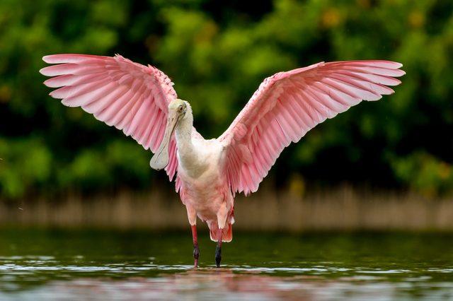Beautiful Roseate Spoonbill