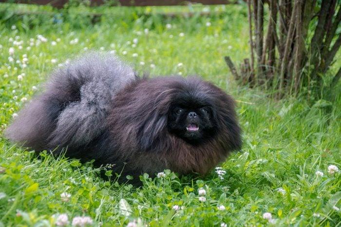 cute black puppy funny pekingese dog on grass