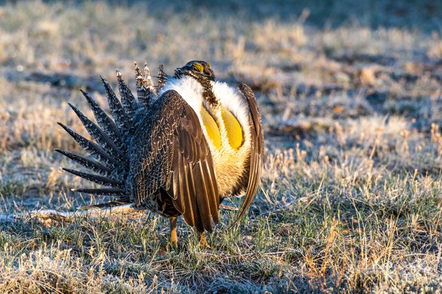 Male Greater Sage-Grouse Mating Courtship Ritual