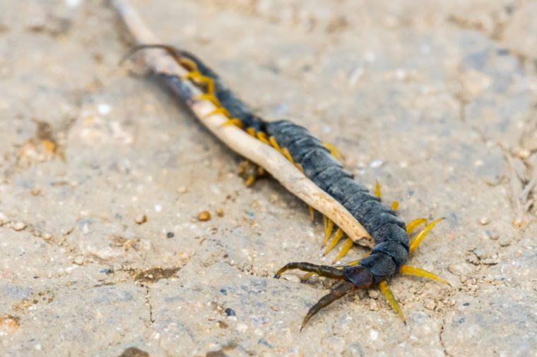 Common Desert Centipede or Scolopendra Polymorpha
