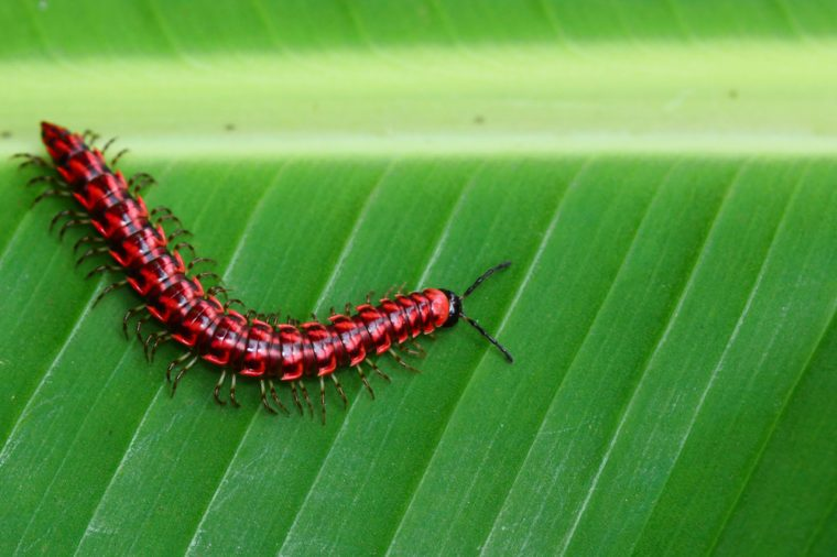 Flat backed millipedes walk on the green leaf. Shocking pink millipede. (Desmoxytes purpurosea)