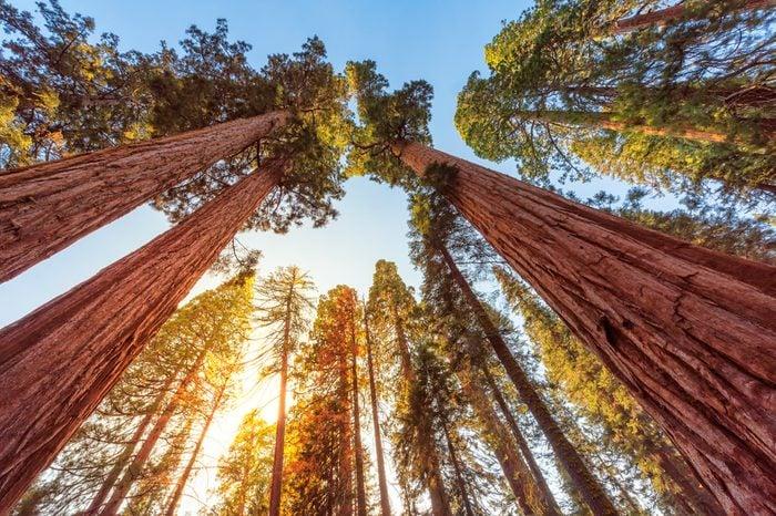 Giant Sequoias Forest. Sequoia National Park in California Sierra Nevada Mountains, USA.