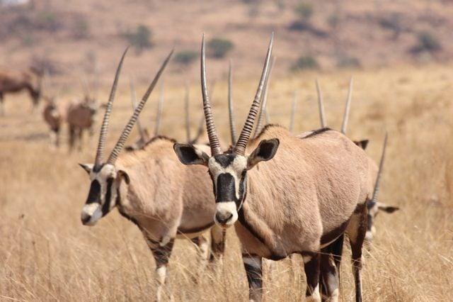 Eland and Gemsbok 2 antelope from Africa.