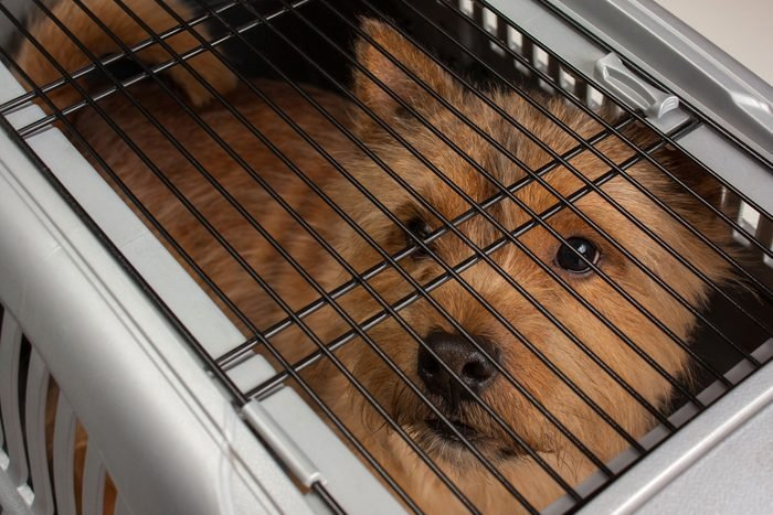 Little dog (Norwich Terrier) in dog carrier with sad eye