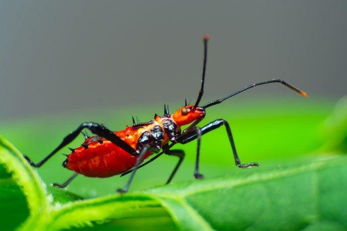 Assassin bug with natural background Macro(Sycanus collaris)