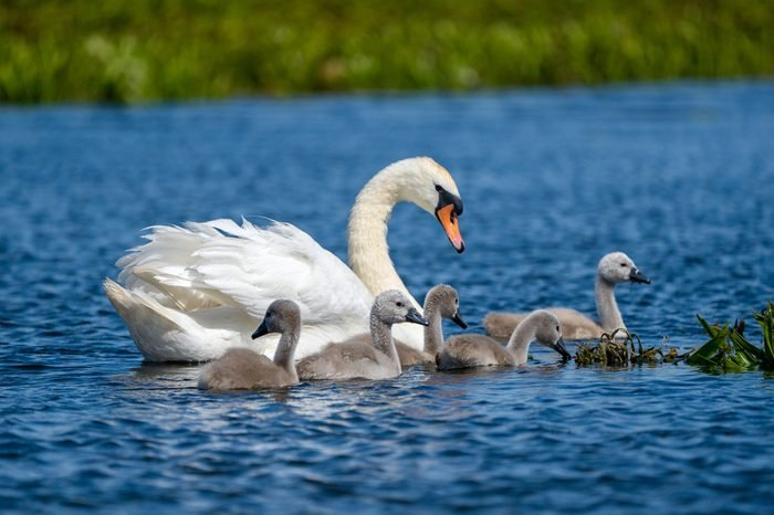 Danube Delta Mute Swan and Cygnets
