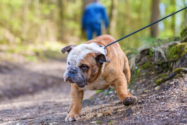 English Bulldog in the forest drags at a leash