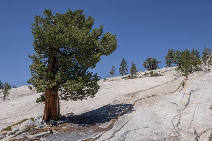 A lone western juniper tree on the ledges above olmsted point in Yosemite national park.