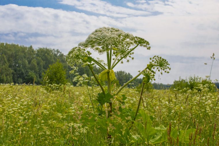 Giant Hogweed, a giant hogweed against blue sky, Heracleum manteggazzianum