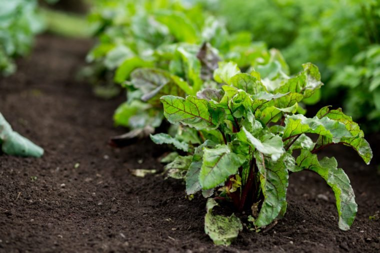 Romaine Lettuce Growing in home garden