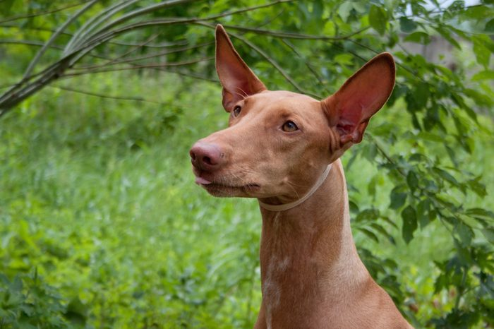 Cute pharaoh hound close up. Kelb tal-Fenek or rabbit dog.