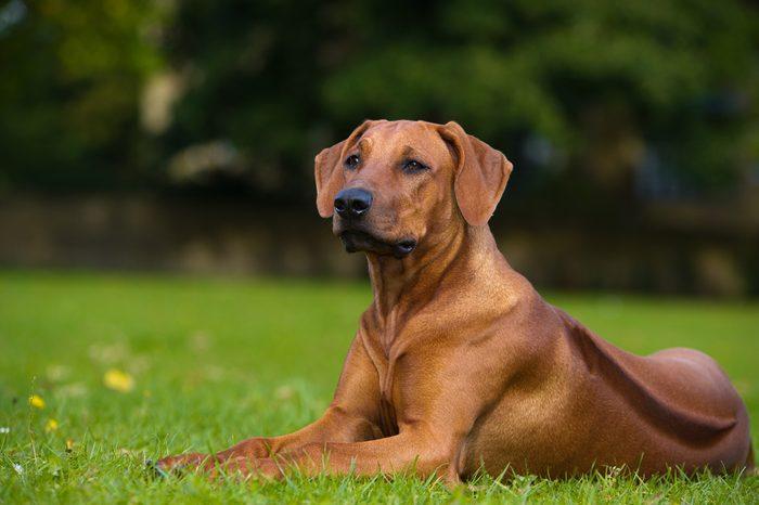 Beautiful dog rhodesian ridgeback hound puppy outdoors on a field