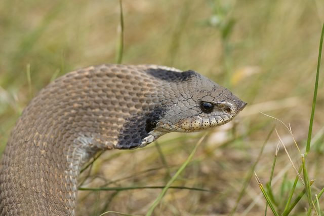 Western Hognosed Snake with it's hood inflated