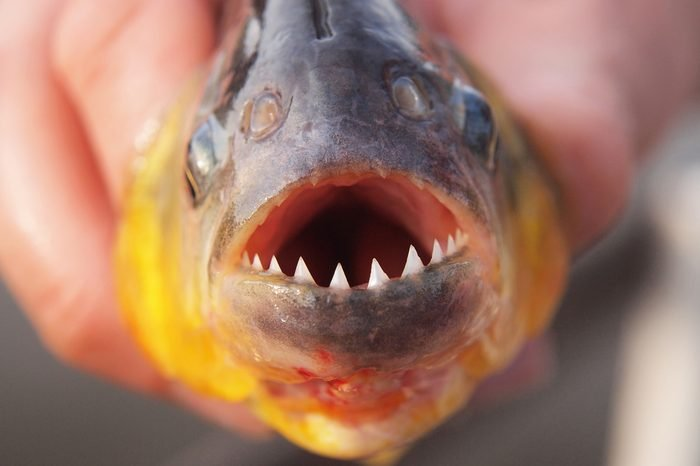 Man's hand holding freshly caught piranha fish with big teeth in Pantanal, Brazil. Horizontal orientation, close up.