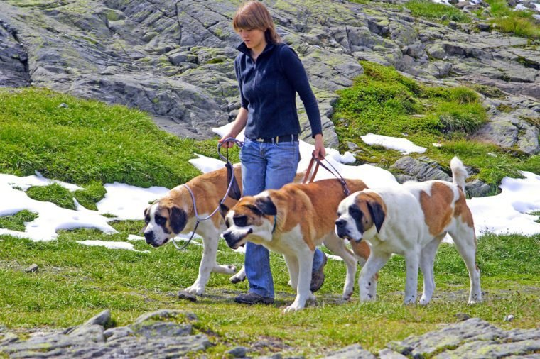 Breeder on a walk with the dogs bred for centuries in hospice of Great St. Bernard Pass on August 12, 2007, border between Italy and Switzerland