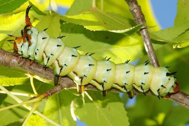 Huge Caterpillar of a Royal Walnut Moth, Regal Moth or Hickory Horned Devil, Citheronia regalis