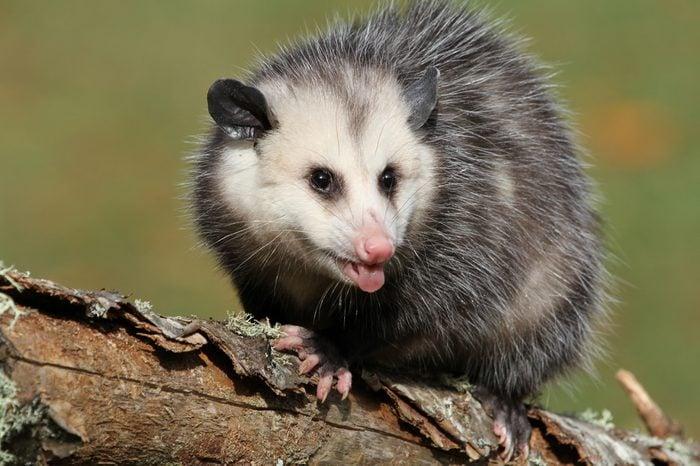 angry young possum