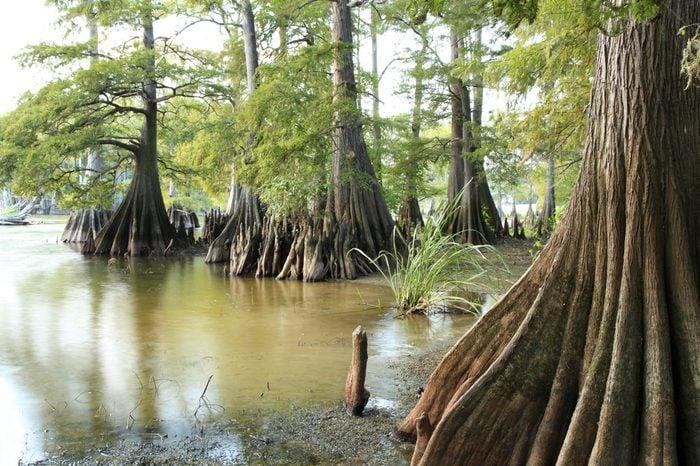 Massive Bald Cypress Trees at the Edge of a Lake