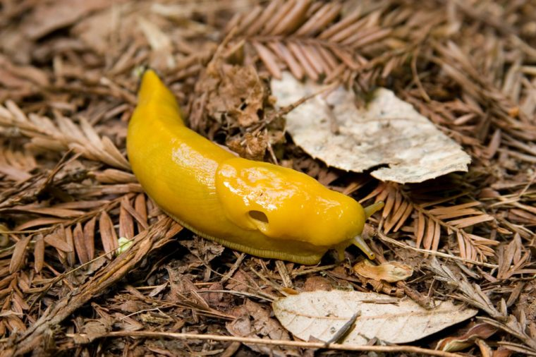 A Pacific Banana Slug (Ariolimax columbianus) makes it way along the redwood forest floor in the Santa Cruz Mountains of Northern California.
