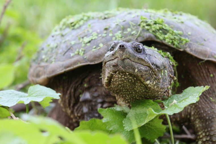 Snapping turtle with green leaves.