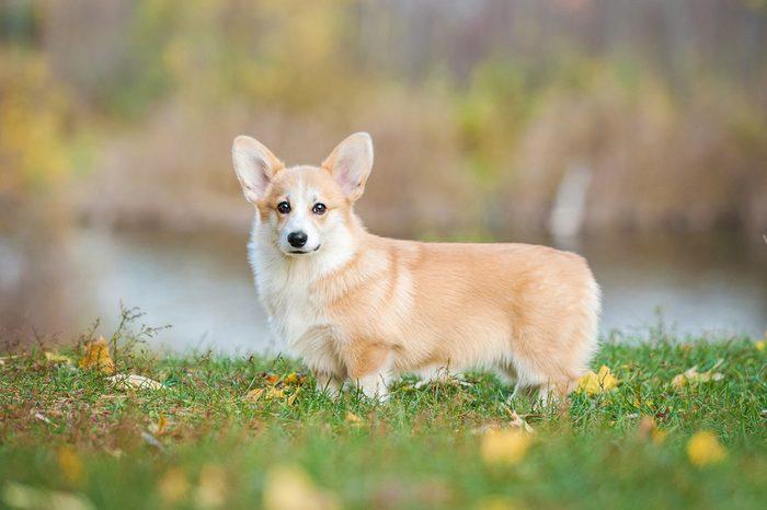 Pembroke welsh corgi puppy in autumn