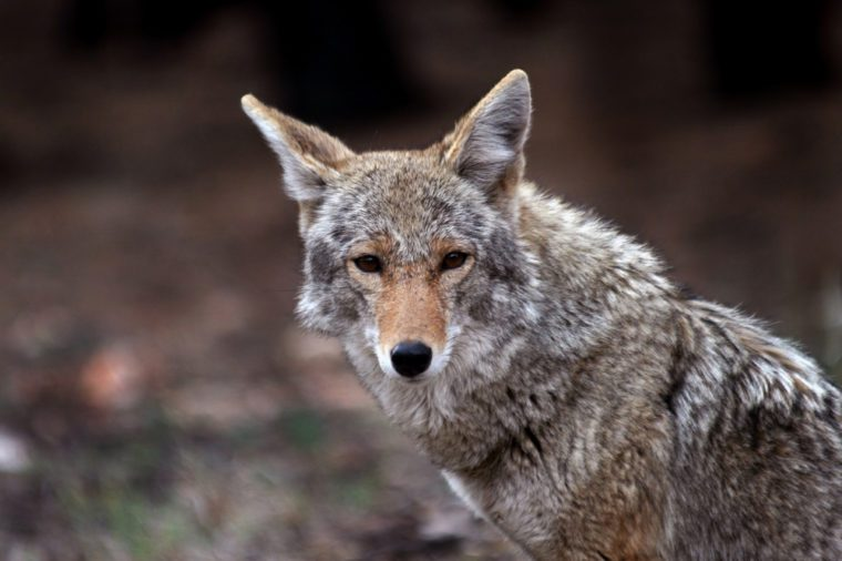 Coyote (Canis latrans) in the wild, but showing little fear of humans