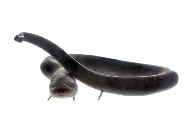 The two-toed amphiuma, amphiuma means, isolated on white background