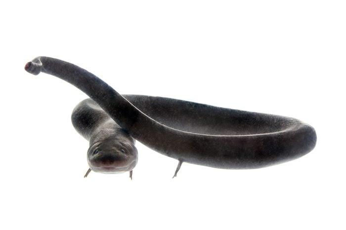 The two-toed amphiuma, amphiuma means, isolated on white background
